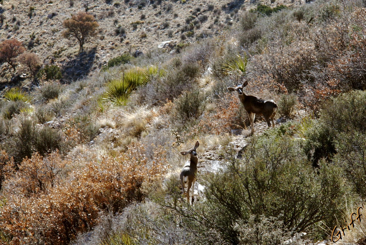 I followed these deer down the trail for a short while in the early morning.  When I whistled, they would turn around and look at me.  Those are big ears!  They didn't seem to care about the rules that said not to cut switchbacks.  I think they will get away with it though.