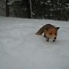 Even the Fox had to tredge through some snow