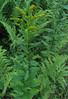 Rough-stemmed or Wrinkleleaf Goldenrod (Solidago rugosa)