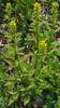 Swamp Goldenrod (Solidago uliginosa)