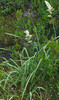 Pine Barren Deathcamas or Oceanorus (Zigadenus leimanthoides)
