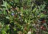 Lowbush Blueberry (Vaccinium angustifolium)