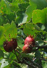 Serviceberry (Amelanchier arborea)