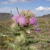 Steens Mountain Thistle.  A plant found only on Steens Mountain.