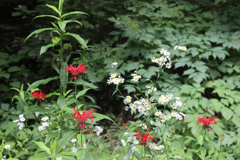 Bee Balm and Daisy Fleabane.