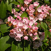 More mountain laurel of a darker pink