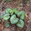 Shuttleworth's Ginger foliage