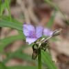 Virginia Spiderwort bloom