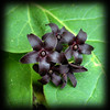 Climbing Milkweed black blooms