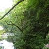 Catawba Rhododendrons along Rock Creek