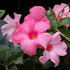 Beautiful Mandevilla blooms