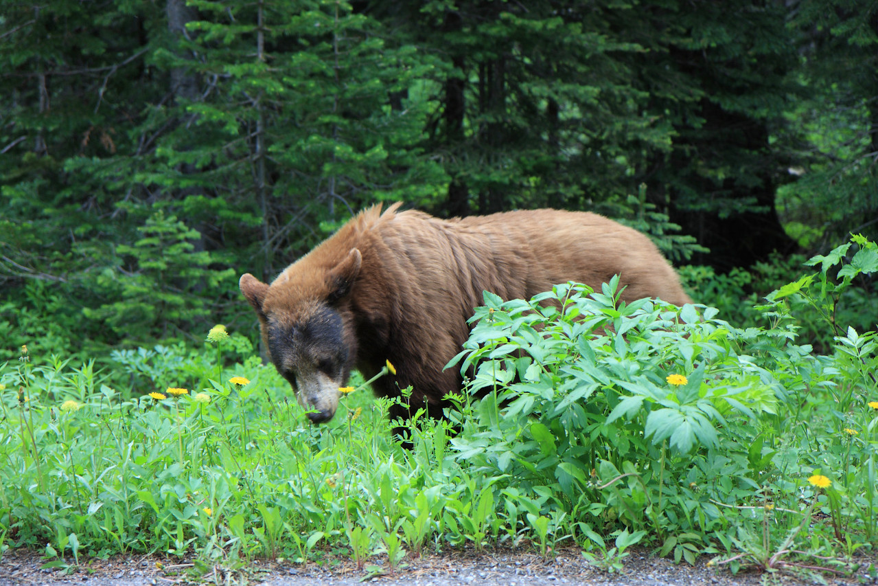 Bear spotted on Akamina Parkway