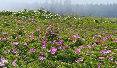 Herring Cove wild roses