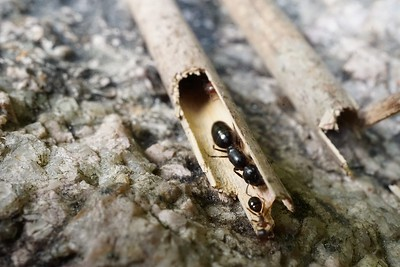 Camponotus leonardi