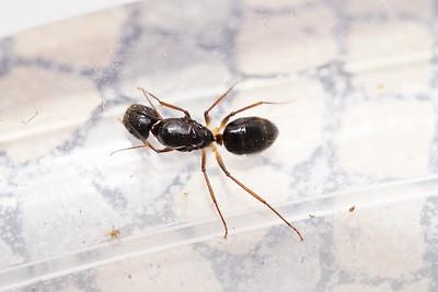 Camponotus carin subsp.tipuna