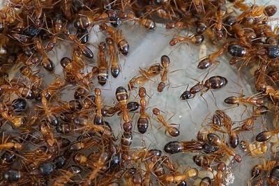 Camponotus