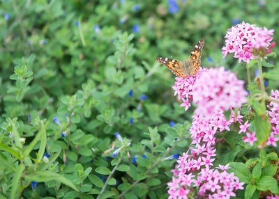 A butterfly rests on some pink flowers at the Island University.
