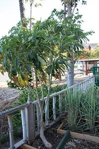 Cassava (tapioca)