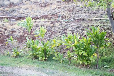 Ti Leaf Plant