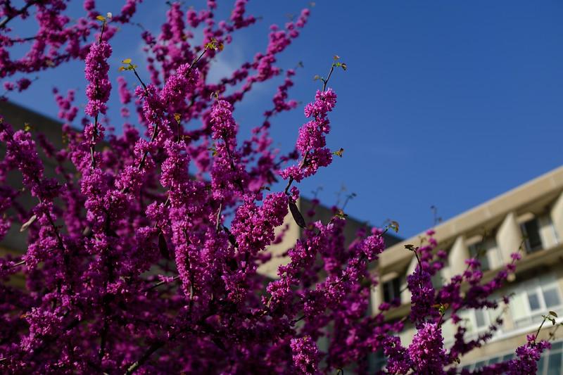Spring Blooms against Faner Hall