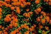 orange milkweed prairie plant outside waste center