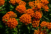 butterfly weed orange milkweed