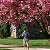 Student walking to the Bankier Library in spring