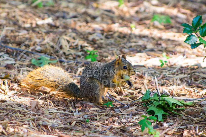 K-State campus squirrel eats a nut on Sept. 14, 2017. (Maddie Domnick | Collegian Media Group)