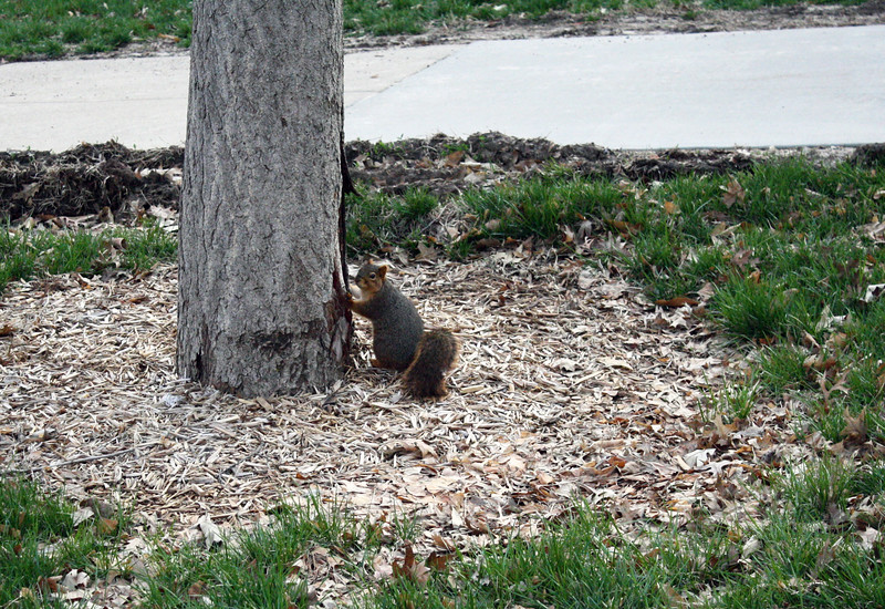 A squirrel stands at the base of a tree near Thompson Hall on the Kansas State campus on April 5, 2019. (Dene Dryden | Collegian Media Group)