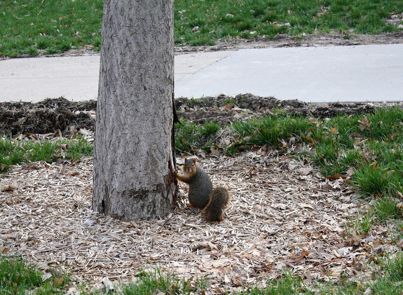 A squirrel stares at passersby outside of Thompson Hall on the Kansas State campus on April 5, 2019. (Dene Dryden | Collegian Media Group)