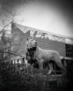 Grayscale Library lion 7.26.12