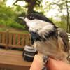 Bird_banding-9-13-2012_IMG_1519