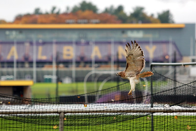 A red-tailed hawk perched above the University at Albany Athletic Fields on Tuesday, November 6, 2018. (photo by Patrick Dodson)