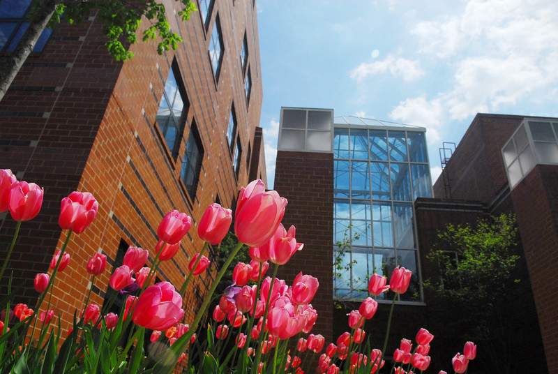 Tulips on a spring day outside Enterprise Hall on the Fairfax Campus. Photo by Creative Services/George Mason University 070430e