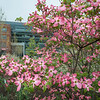 Merten Hall Dogwood