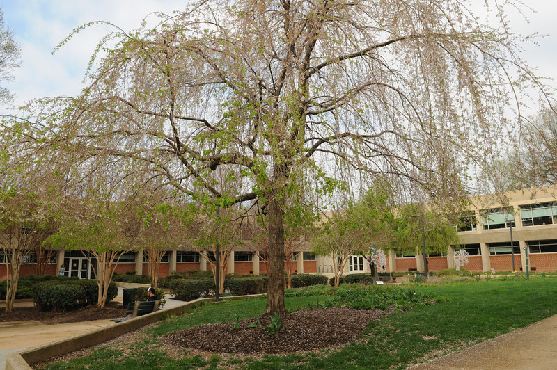 Spring trees in the Thompson Hall courtyard. Photo by Evan Cantwell/Creative Services/George Mason University