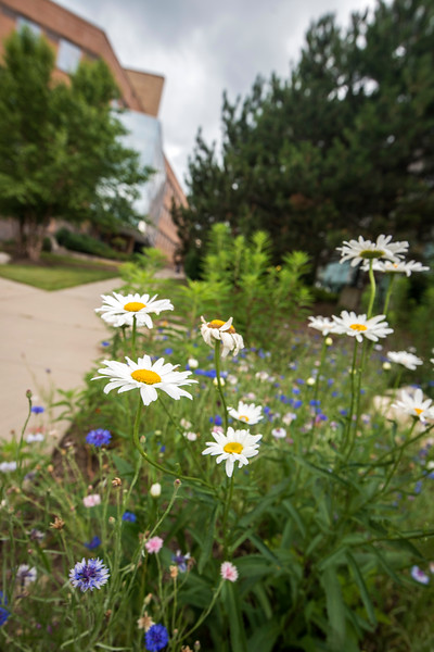 Wildflowers on campus