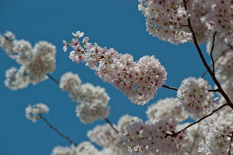 Cherry blossoms bloom at Fairfax campus. Photo by Alexis Glenn/Creative Services/George Mason University