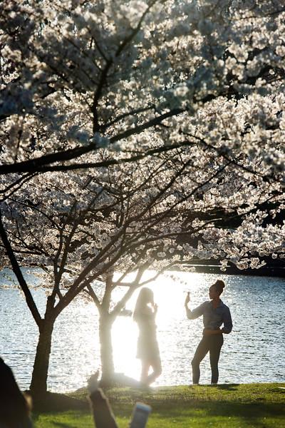 Mason pond cherry blossoms