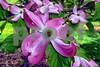 P1010157 CU Pink Dogwood wn