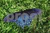 P1010106 Pipevine Swallowtail ftb