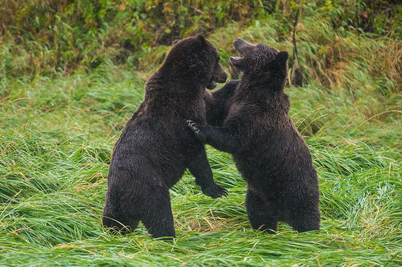 Alaska. Katmai NP. Coastal Brown Bears brothers sparring in mock combat.