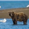 USA. Alaska. Coastal Brown Bear fishing for salmon at Silver Salmon Creek in Lake Clark NP.