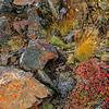 Lichen covers rocks near Polychrome Pass in Denali NP, Alaska.