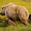 USA. Alaska. Coastal Brown Bear mother and cubs feeding on sedge grass at Silver Salmon Creek, Lake Clark NP.