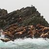 Alaska. Katmai NP. Steller Sea Lions in the Shelikof Strait.