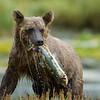 Alaska. Katmai NP. Coastal Brown Bear with freshly caught salmon.