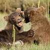 USA. Alaska. Coastal Brown Bear cubs at Silver Salmon Creek, Lake Clark NP.