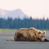 USA. Alaska. Coastal Brown Bear awaits the salmon run at Silver Salmon Creek in Lake Clark NP.
