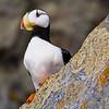 USA. Alaska. Horned Puffin at Bird Island in Lake Clark NP.